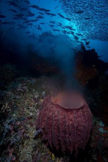A barrel sponge (Xestospongia testudinaria) spawns beneath large schools of fusiliers (Caesionidae) and silversides (Atheriniformes sp.). Raja Ampat, Indoensia.