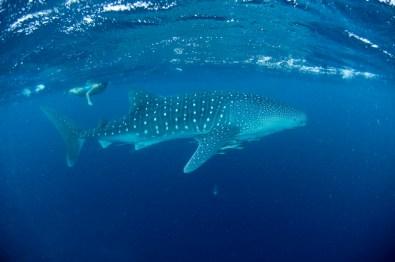 diving-big-fish