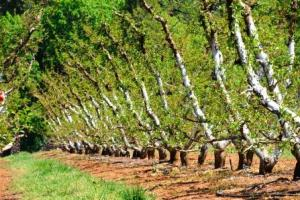 apples Orchard