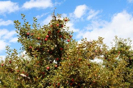 Summer Apple Tree