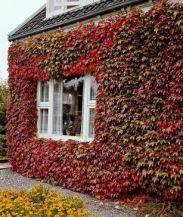 virginia creeper climbers