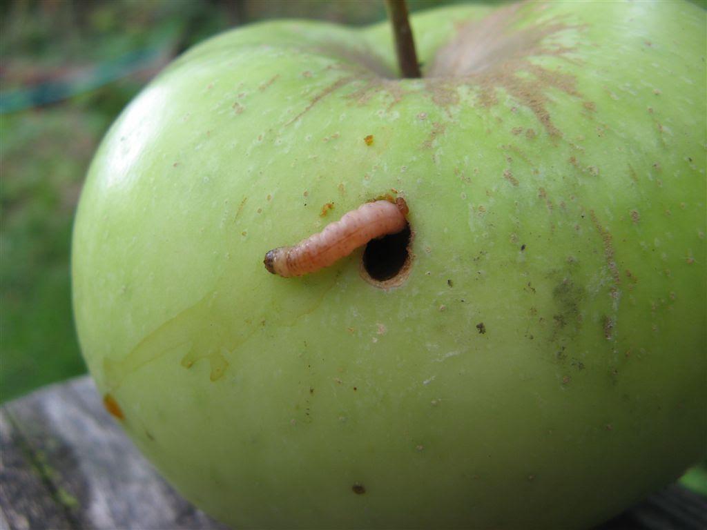 maggots in apple