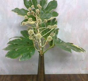 fatsia japonica in vase