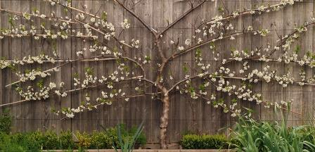 fan-trained-plum-tree