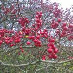 hawthorn-berries