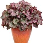 heuchera plant in pot