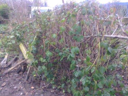 overgrown hedge