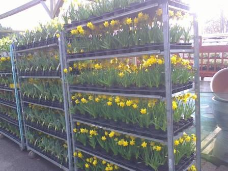 rack of tete a tete daffodils for sale