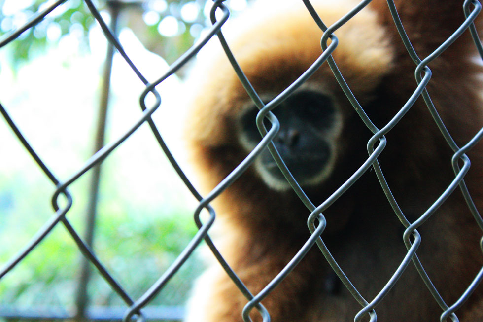 The Gibbon Rehabilitation Project in Phuket