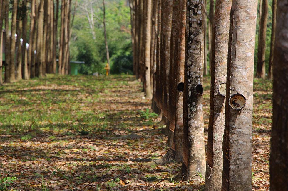 Rubber trees in Phang Nga