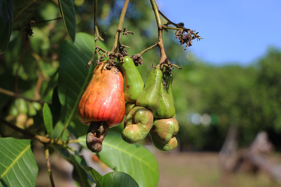 Ripe cashew fruit Koh Phayam