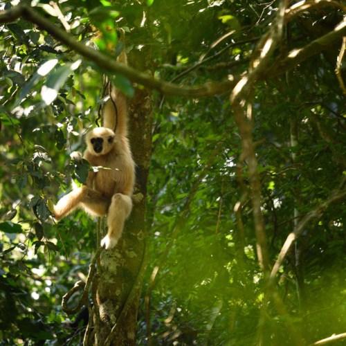 White Gibbon at Khao Yai National Park
