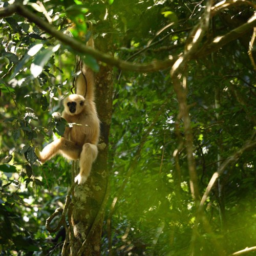 White Gibbon at Khao Yai National Park