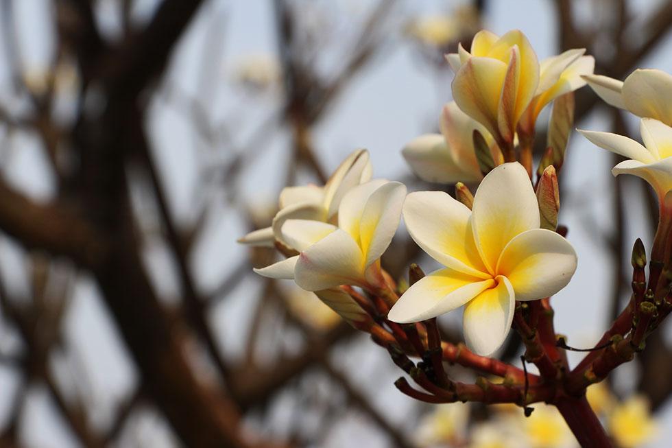 Fragrant flowers in Phetchaburi