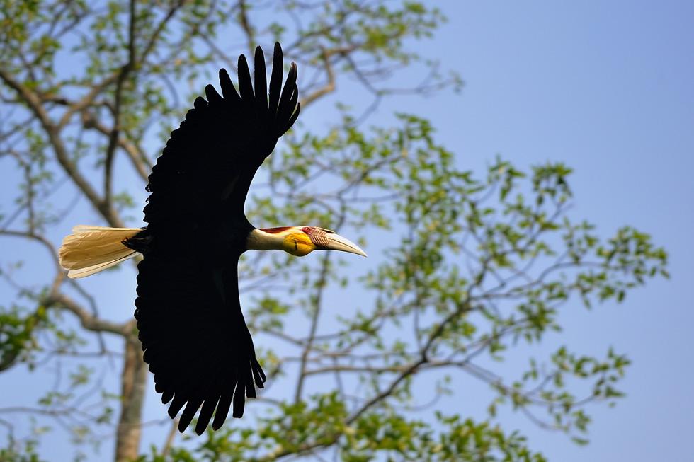 Wreathed Hornbill in Khao Yai National Park
