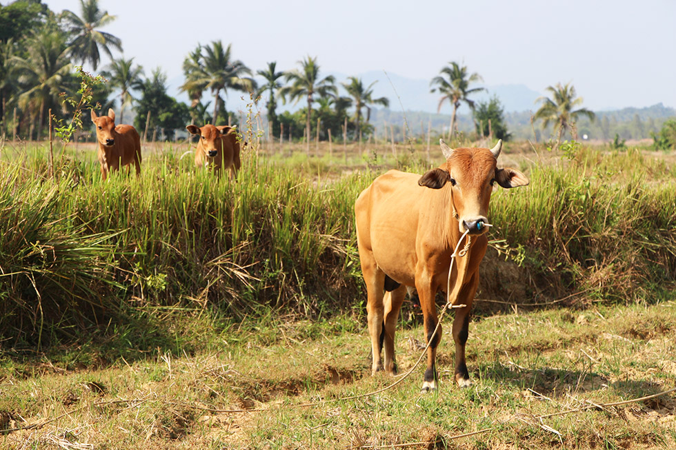 Farming is important on Koh Yao Noi