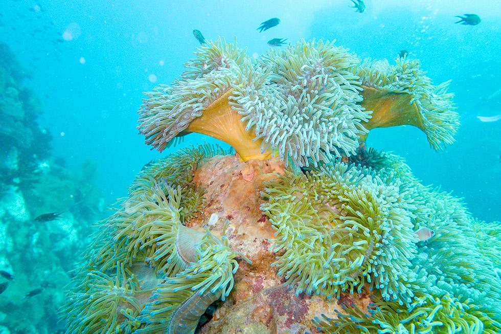 Soft Coral Koh Tao