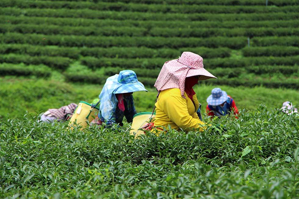 Choui Fong Tea Farm in Chiang Rai