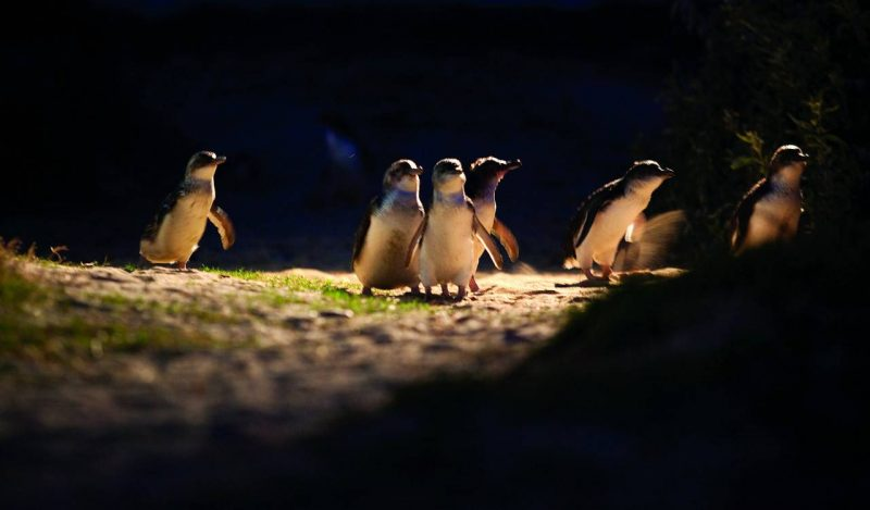 The Penguin Parade Tour with General Viewing