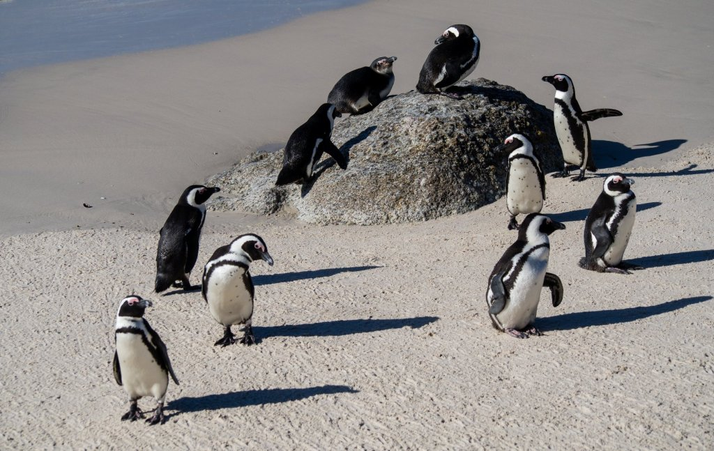 African Penguins at Boulders Beach in Simons Town while on Cape Peninsula Tour