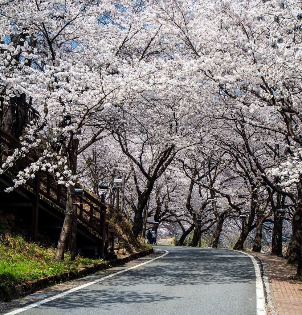 Tunnel of Cherry Blossoms at the Hwagae Cherry Blossom Festival in South Korea