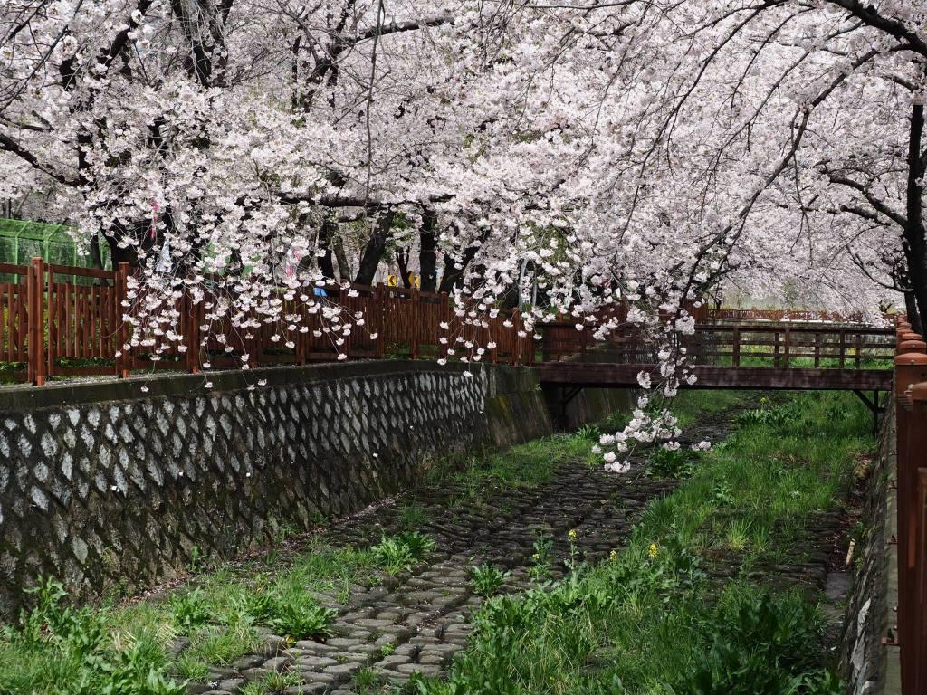 Jinhae Cherry Blossom Festival in South Korea