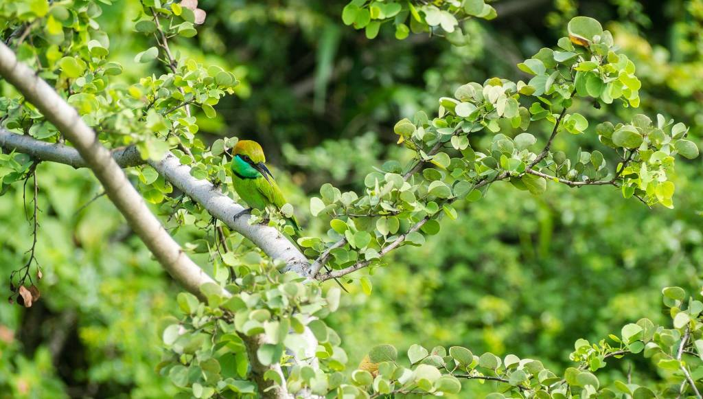 Green Bee Eater in Udawalawe National Park, Sri Lanka