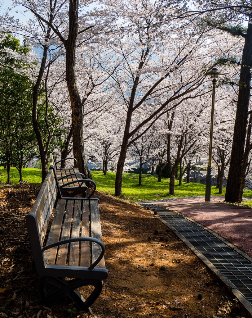 Cherry Blossoms at Mochung Park, in Sacheon