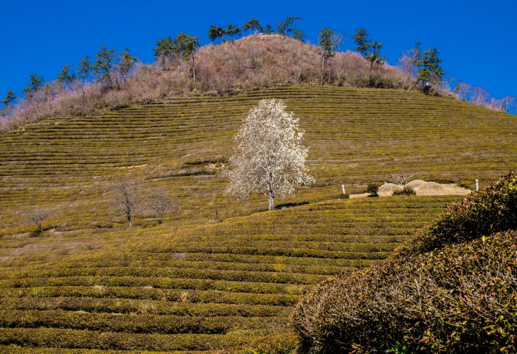 Daehan Dawon Green Tea Field, Boseong