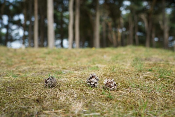 Close up with pine cones