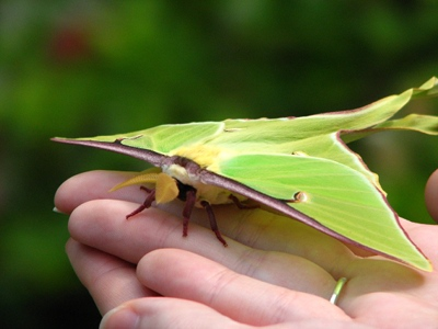 Luna moth on hands