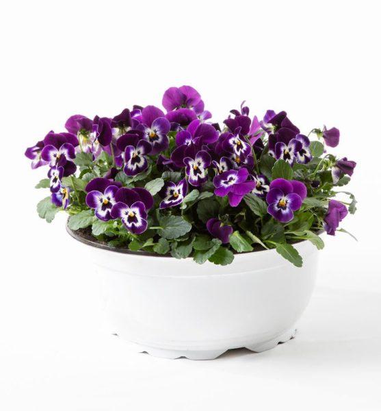 Send blomster på døra - Viola cornuta i skål