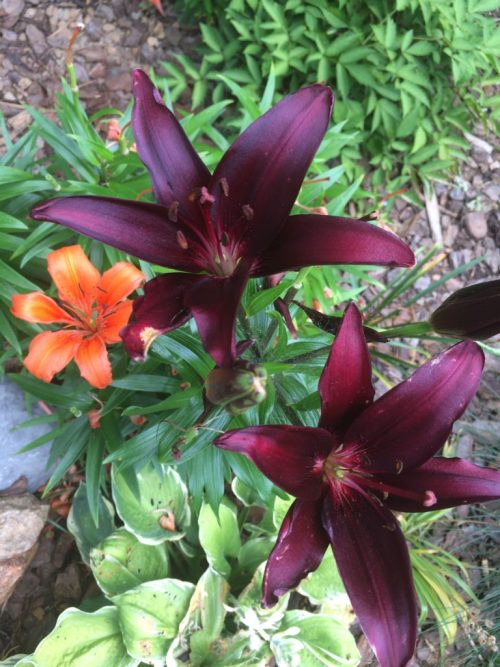 Best Flowers To Grow Lilies Gourmand Lab Report