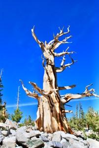 Great Basin, Bristlecone Pines