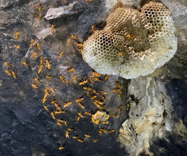 Arabian paper wasp in Al Lasefe cave
