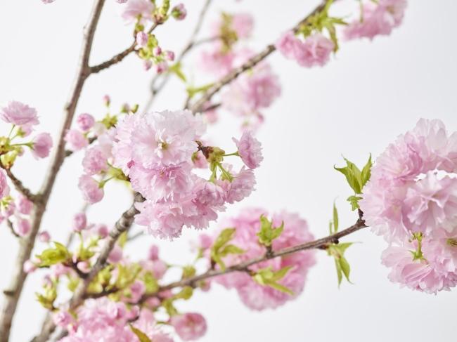 3月27日はさくらの日。日本が誇るお花見を、ぜひ青山フラワーマーケットで。室内で贅沢なひとときを。