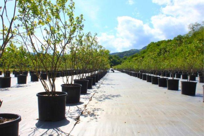 すべての成木を管理の行き届くポット栽培で行う。