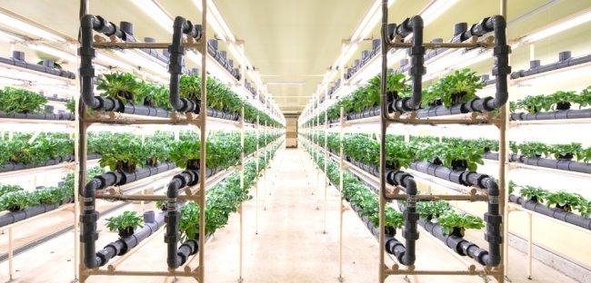 オイスターリーフ専用の植物工場