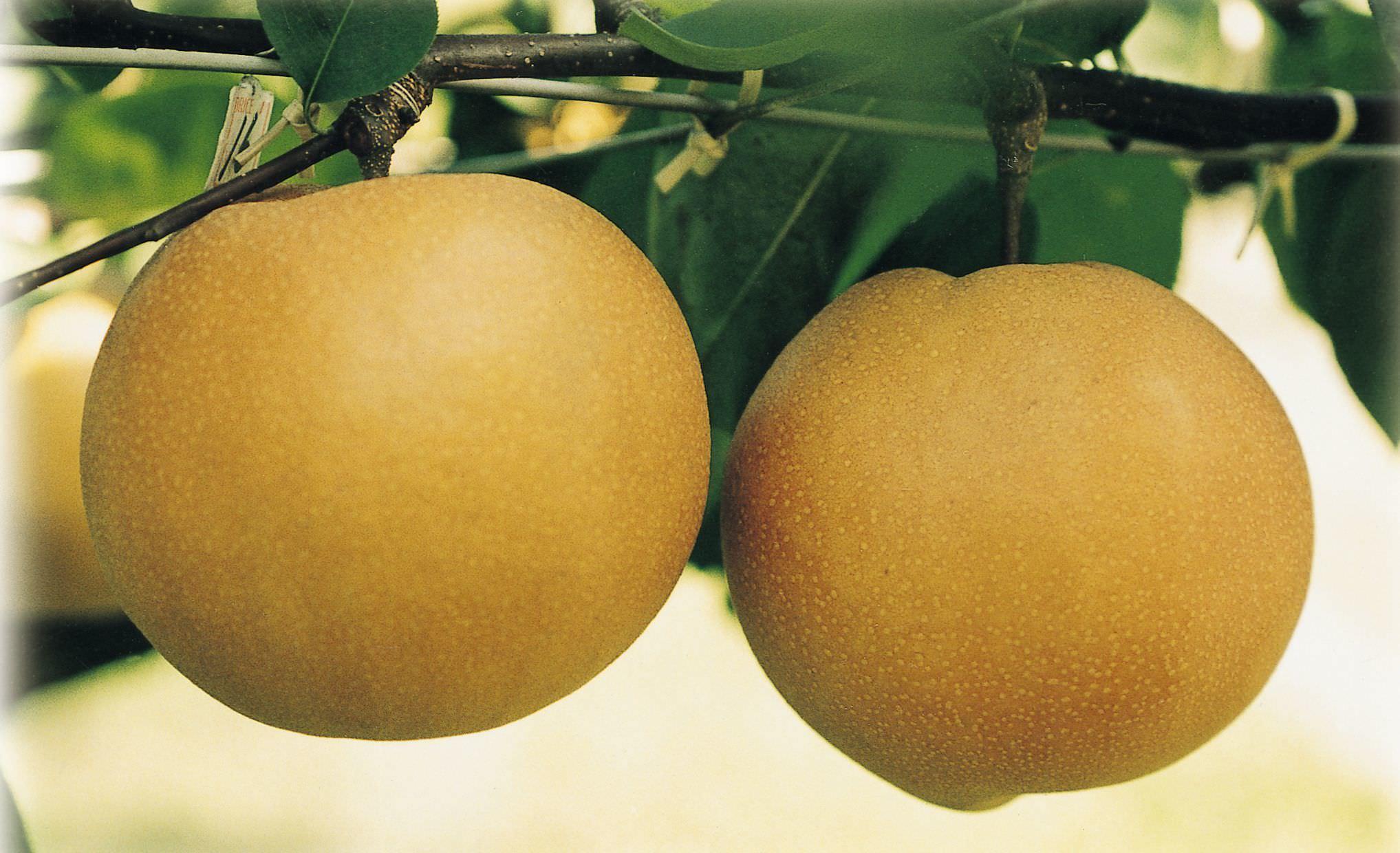 台風、豪雨を乗り越え、出荷の最盛期へ! 栃木ブランドの大玉『にっこり梨』