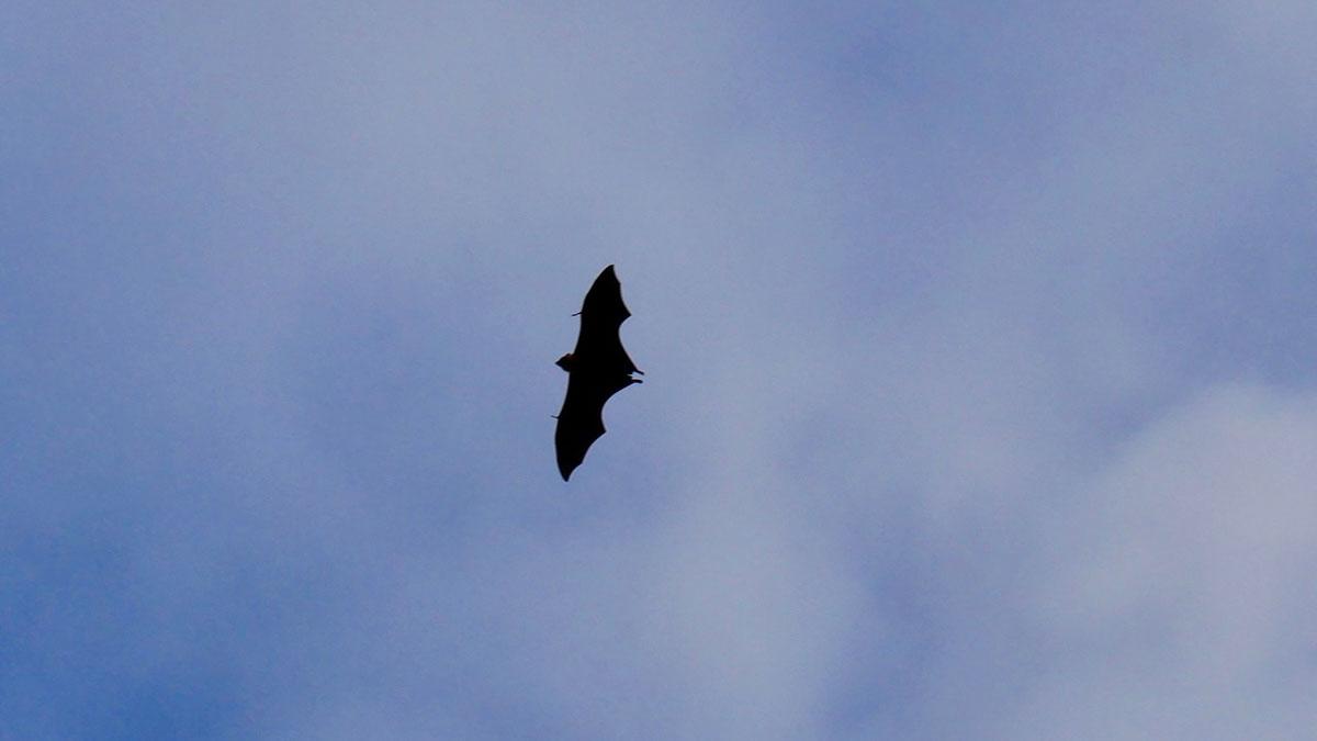 Flughund über Praslin. Foto JW