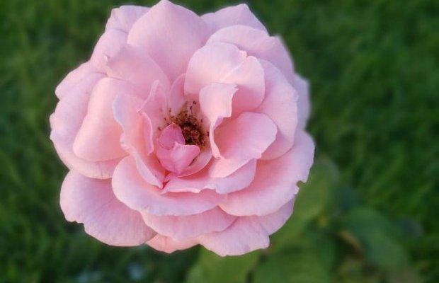 Símbolo dos 200 anos de nascimento de Anita Garibaldi, rosa floresce no jardim do Museu Histórico de Santa Catarina
