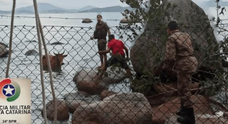 Polícia militar de Governador Celso Ramos apreende bovino em ocorrência de maus tratos a animais