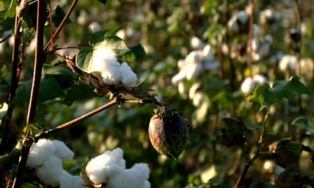 Cotton Development Scheme in Maharashtra under NFSM