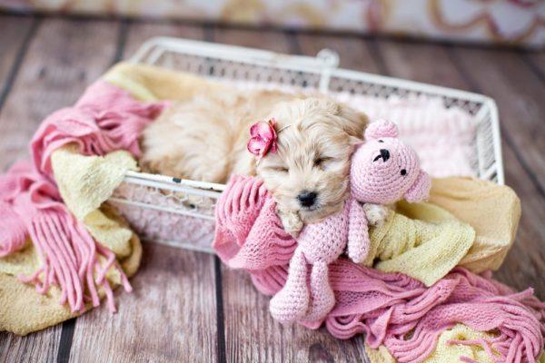 F1b & F2b Miniature Goldendoodles | Golden Point Puppies