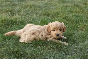 F1 Miniature Goldendoodle