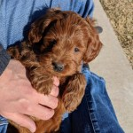 F1b Mini Goldendoodle