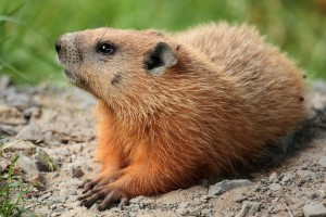 This is a groundhog, a mammal that Davidson became all too familiar with in the Canadian Grand Prix.