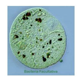 Polydex bacteri facultativa