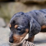 Welcome To Graber Ranch Dachshunds