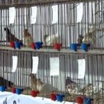 """""""Ћелевир"""" организује продајну изложбу голубова и пернате живине"""